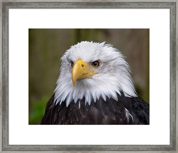 Eagle In Ketchikan Alaska Framed Print