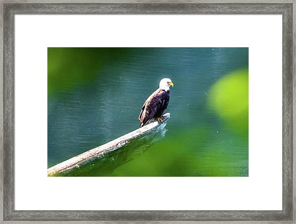 Eagle In Lake Framed Print