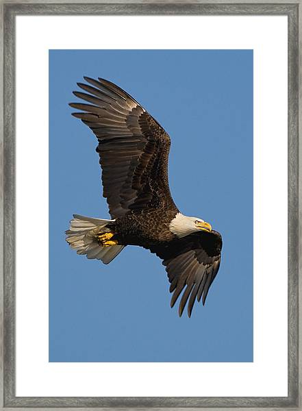 Framed Print featuring the photograph Eagle In Sunlight by William Jobes