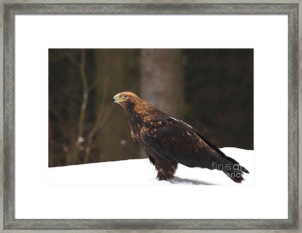 Eagle In The Snow Framed Print