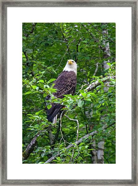 Eagle In Tree Framed Print
