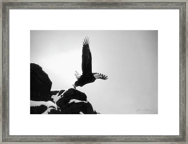 Eagle Takeoff At Adak, Alaska Framed Print