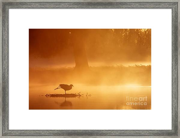 Earasian Coot At Sunrise Framed Print