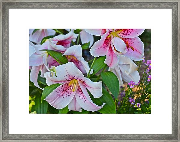 Early August Tumble Of Lilies Framed Print