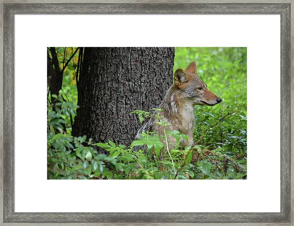 Early Morning Coyote In Maine Framed Print