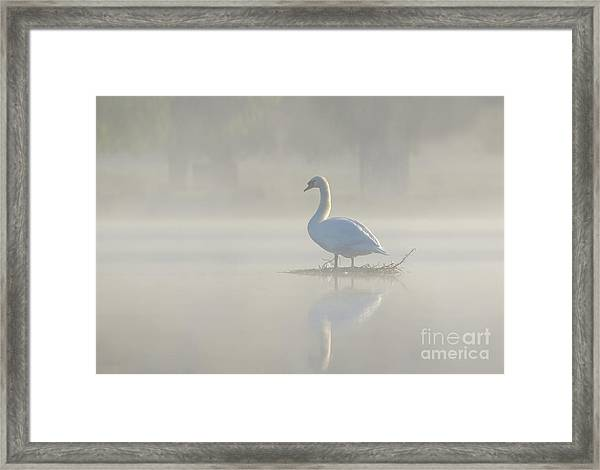 Early Morning Mute Swan - Cygnus Olor - On Serene, Misty Pond Framed Print