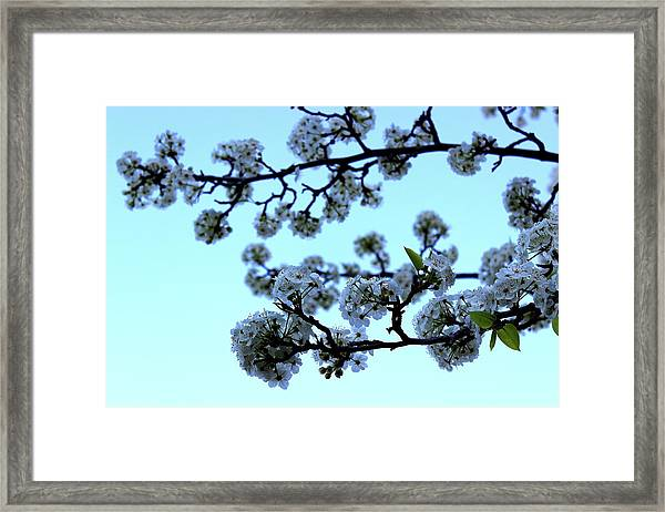 Early Morning Pear Blossom Framed Print
