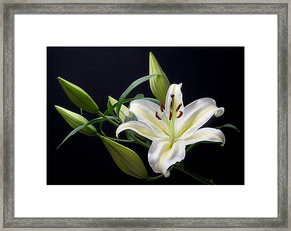 Easter Lily 3 Framed Print