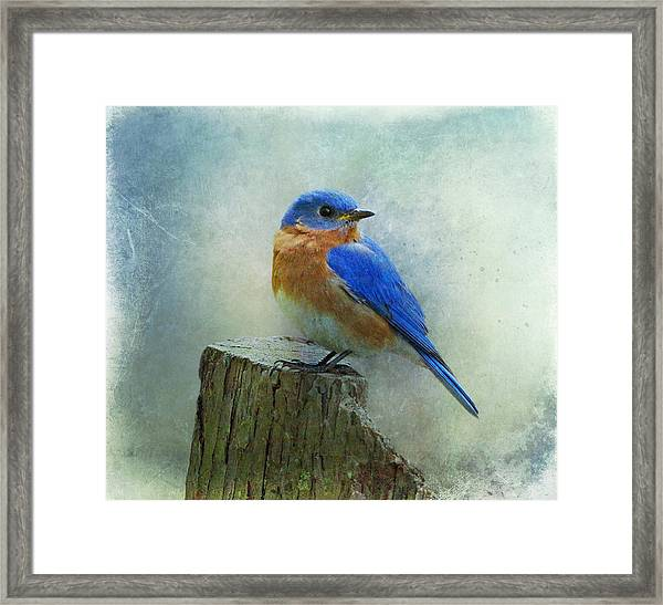 Eastern Bluebird II Framed Print