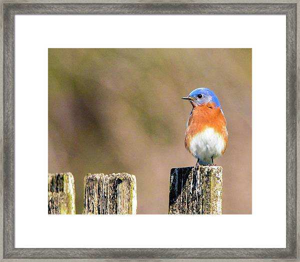Eastern Bluebird Framed Print