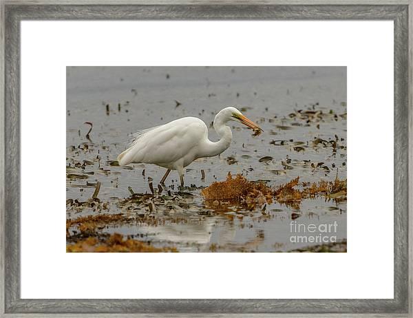 Eastern Great Egret 10 Framed Print