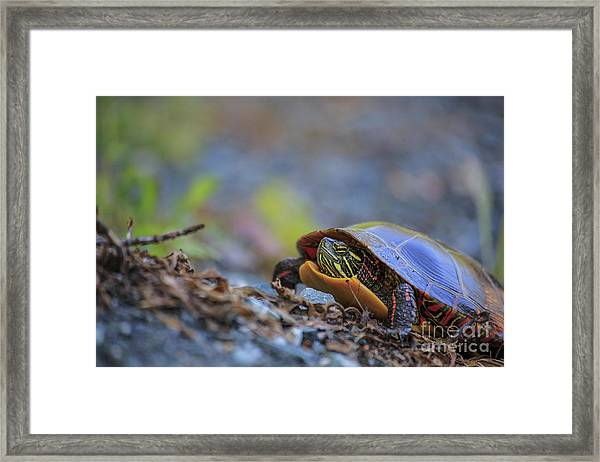Eastern Painted Turtle Chrysemys Picta Framed Print