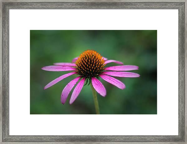 Eastern Purple Coneflower Framed Print