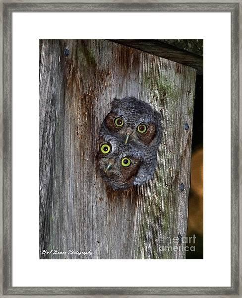 Eastern Screech Owl Chicks Framed Print