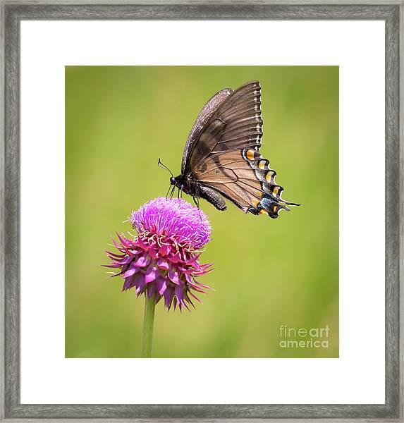Eastern Tiger Swallowtail Dark Form  Framed Print