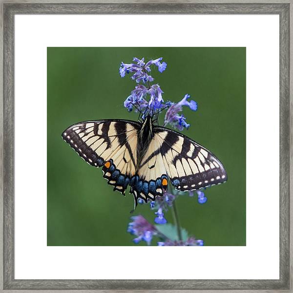 Eastern Tiger Swallowtail Wingspan Framed Print