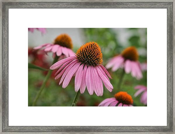 Echinacea Purpurea Framed Print