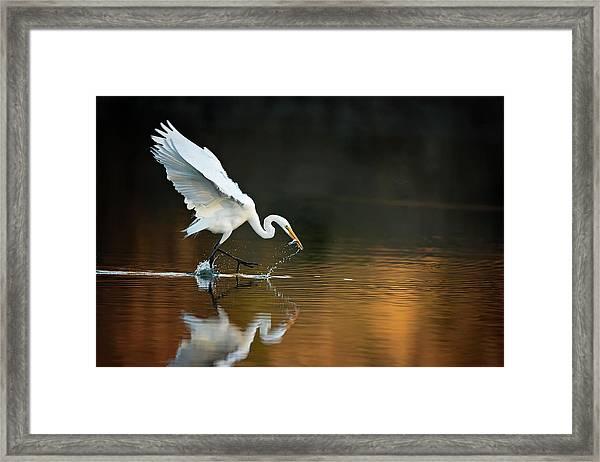 Egret At Sunset Framed Print