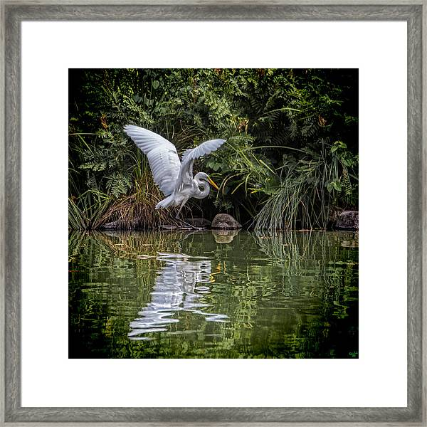 Egret Hunting For Lunch Framed Print