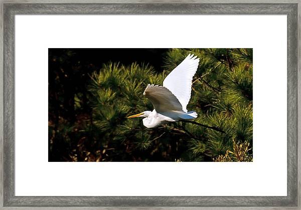 Egret In Flight 1 Framed Print