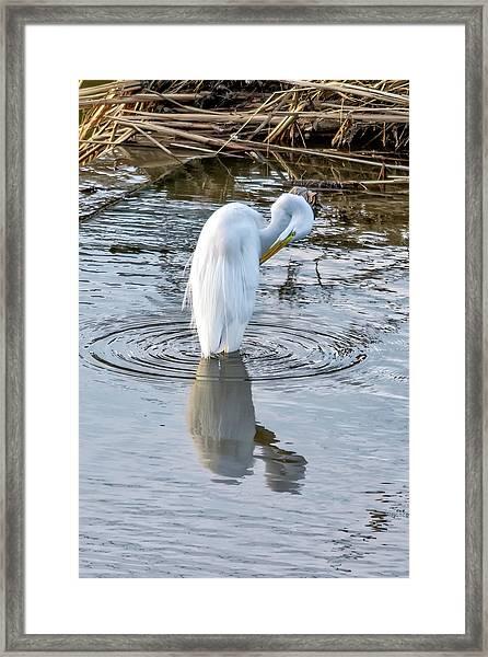 Egret Standing In A Stream Preening Framed Print
