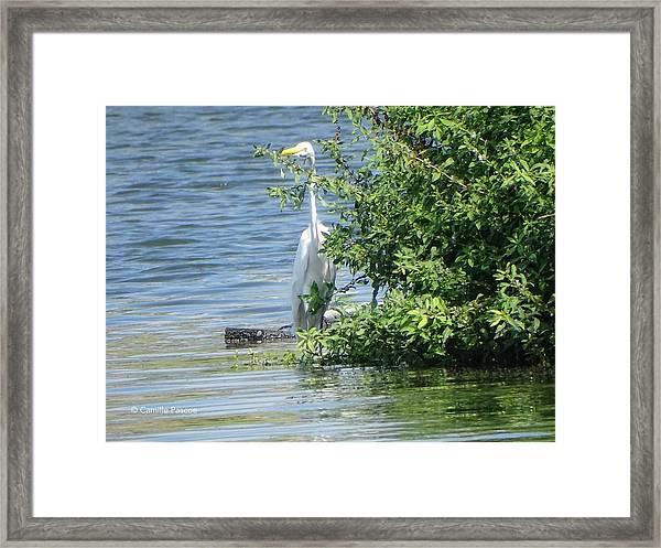 Great Egret In The Marsh Framed Print