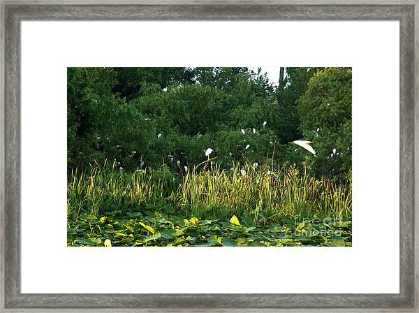 Egrets Nesting Framed Print