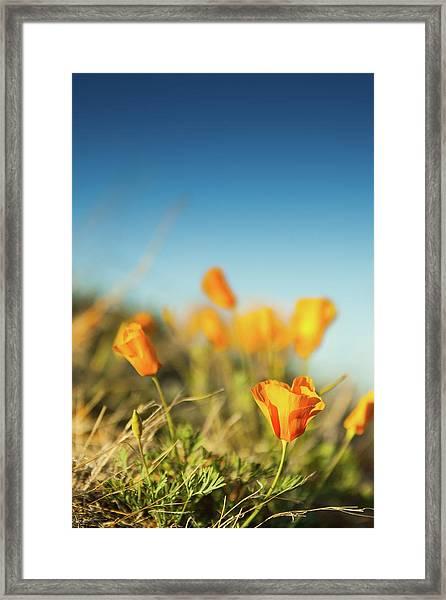 El Paso Poppies Framed Print