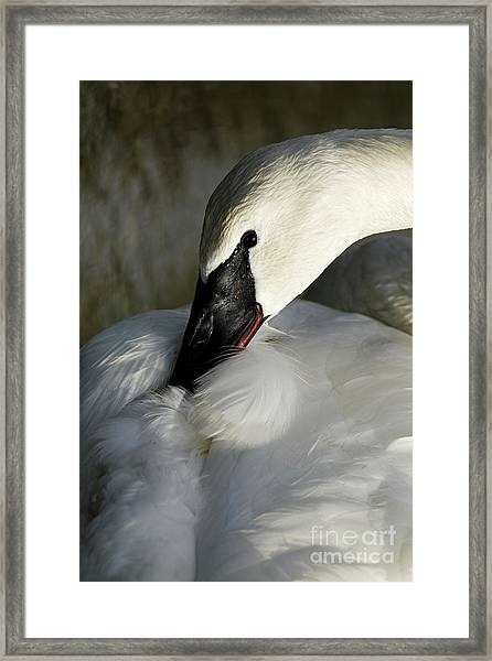 Elegant Trumpeter Swan Framed Print