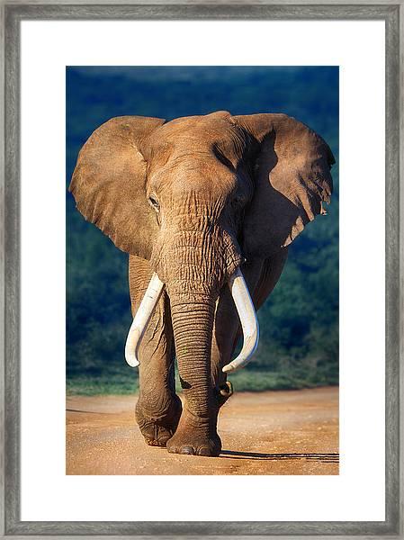 Elephant Approaching Framed Print