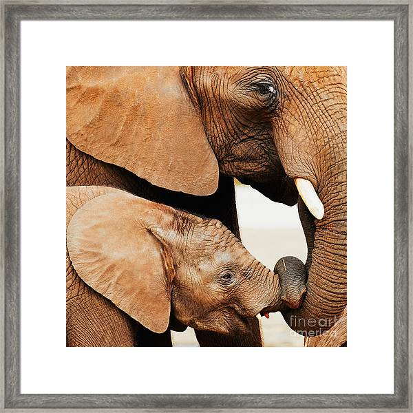Elephant Calf And Mother Close Together Framed Print