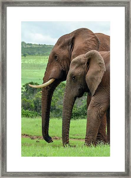 Elephant Couple Profile Framed Print