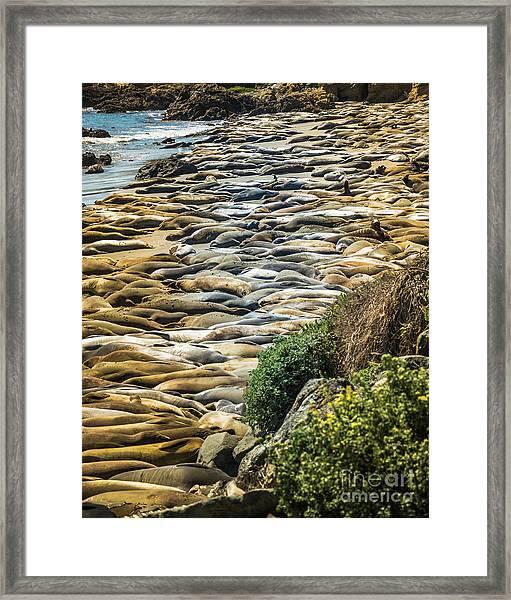 Elephant Seals Pierdras Blancas Framed Print