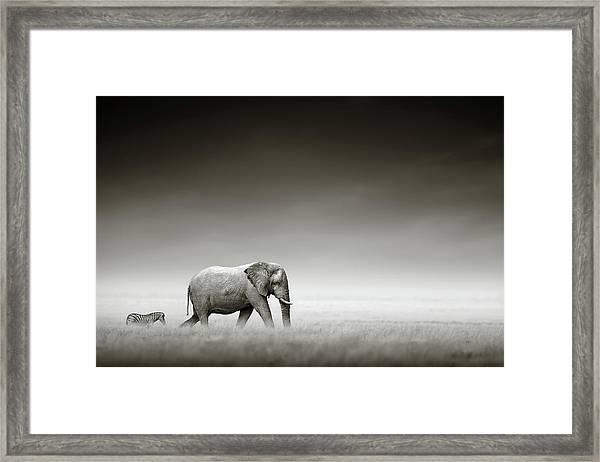 Elephant With Zebra Framed Print