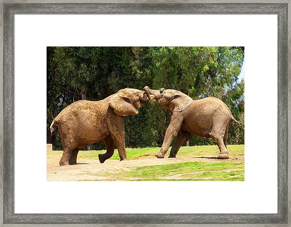 Elephants At Play 2 Framed Print