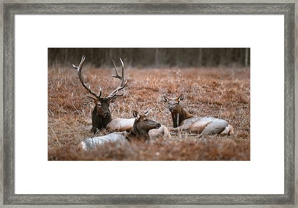 Elk Family Portrait Framed Print by Garett Gabriel