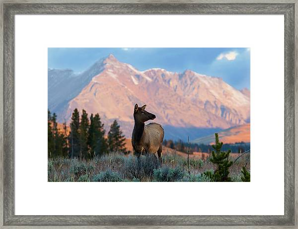 Elk Majesty Framed Print