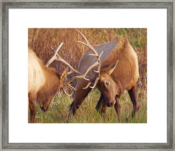 Elk Tussle Framed Print