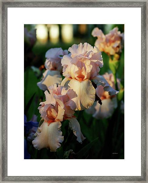 End Of Day Pink Irises 6702 H_2 Framed Print