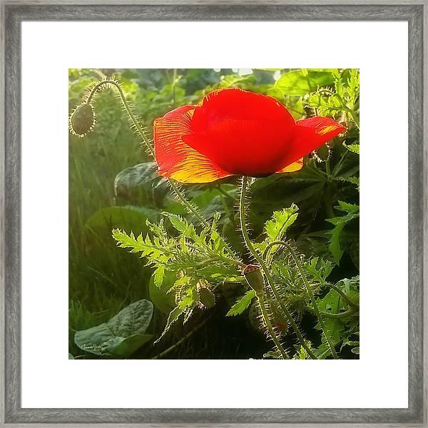 Red Poppy At Sunset Framed Print