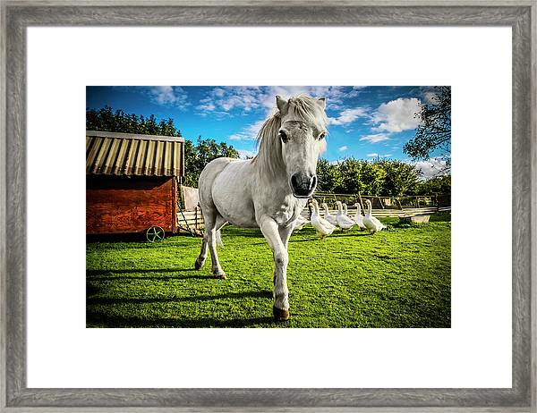 English Gypsy Horse Framed Print