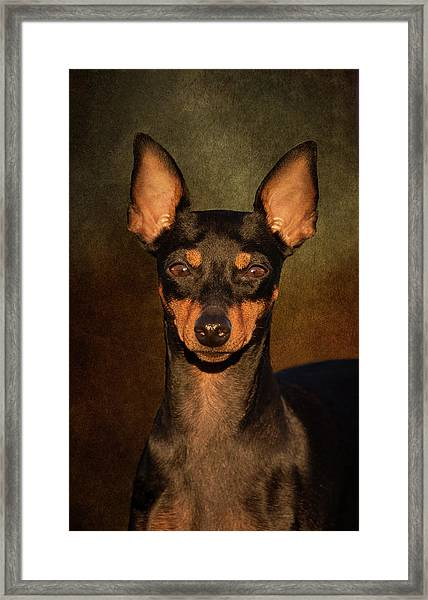 English Toy Terrier Framed Print