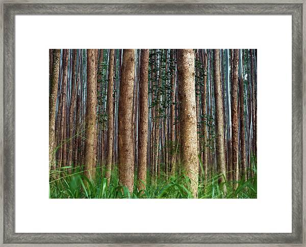 Eucalyptus Forest Framed Print