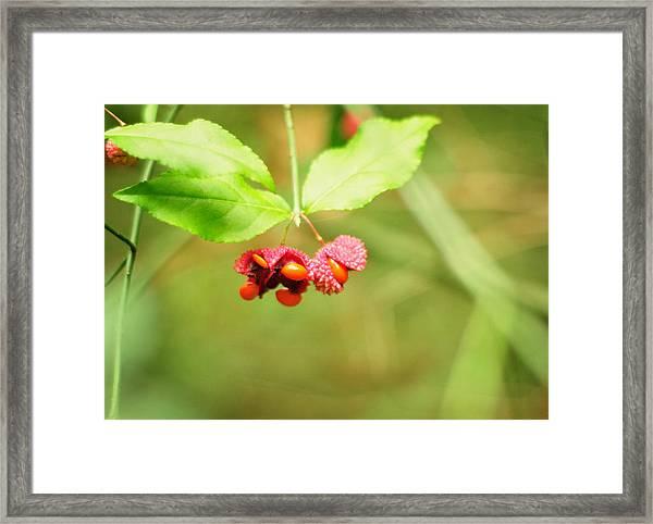 Euonymus Americanus  American Strawberry Bush Framed Print