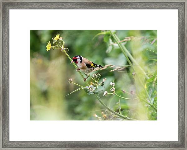 European Goldfinch Perched On Flower Stem B Framed Print