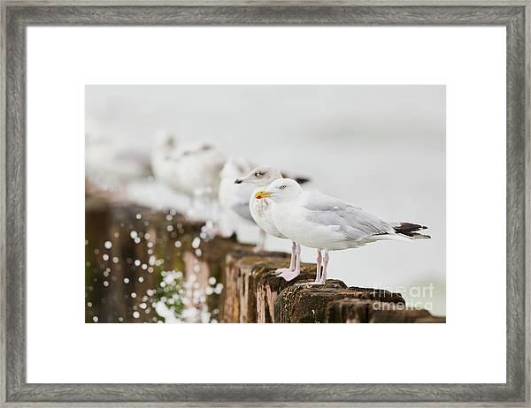 European Herring Gulls In A Row  Framed Print