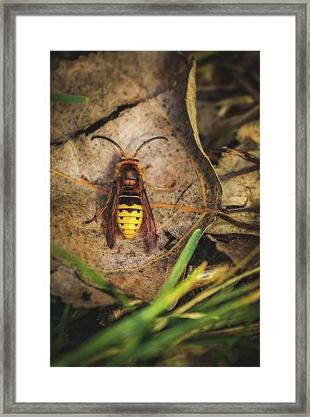 European Hornet - Vespa Crabro Framed Print