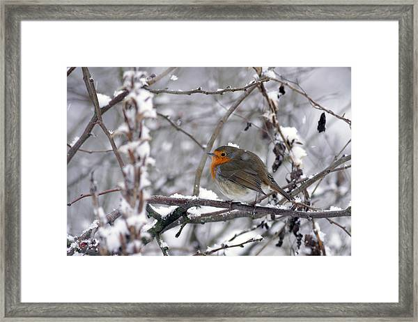 European Robin In The Snow At Christmas Framed Print