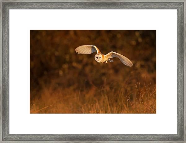 Evening Hunter Framed Print