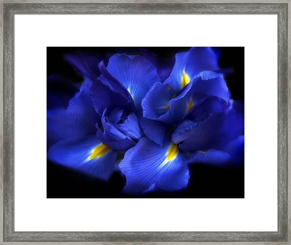 Evening Iris Framed Print